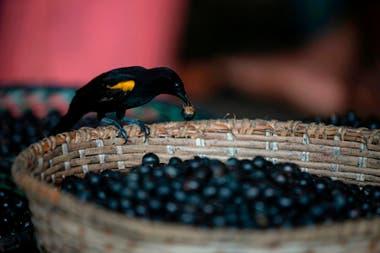 Investigadores canadienses están analizando un alimento, el fruto de la palma de acaí, en su búsqueda de un tratamiento para los síntomas más graves del coronavirus