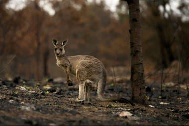 Las llamas provocaron la muerte de más de mil millones de animales en la isla