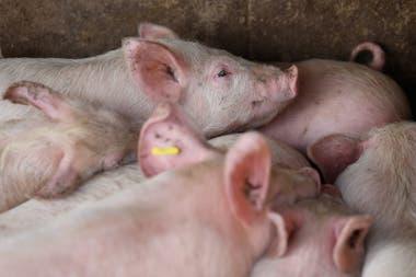 La producción de carne de cerdo, con buenas perspectivas