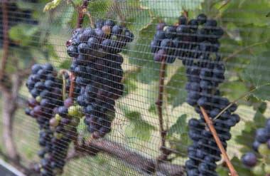Detalle de las uvas de Finca El Tala.