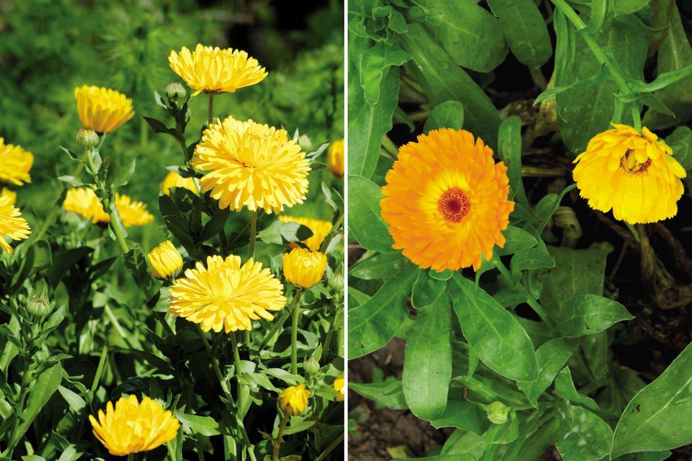 Caléndula: existen distintas tonalidades que van desde el amarillo hasta el naranja.