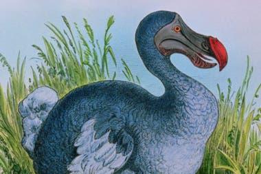 Un fenómeno similar de pérdida de la capacidad de volar se dio en otra especie del Océano Índico, el Dodo, un ave extinta de las islas Mauricio