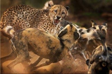 Perros salvajes africanos atacan a un guepardo, que pudo escapar con vida