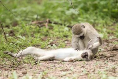 En fotos: el instante en que un mono intenta resucitar a una compañera caída - LA NACION