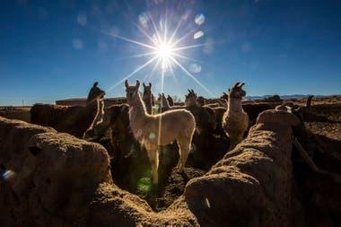 Las llamas son parte de la supervivencia pastoril de la comunidad de Tres Pozos, junto a la Salina Grande en Jujuy.