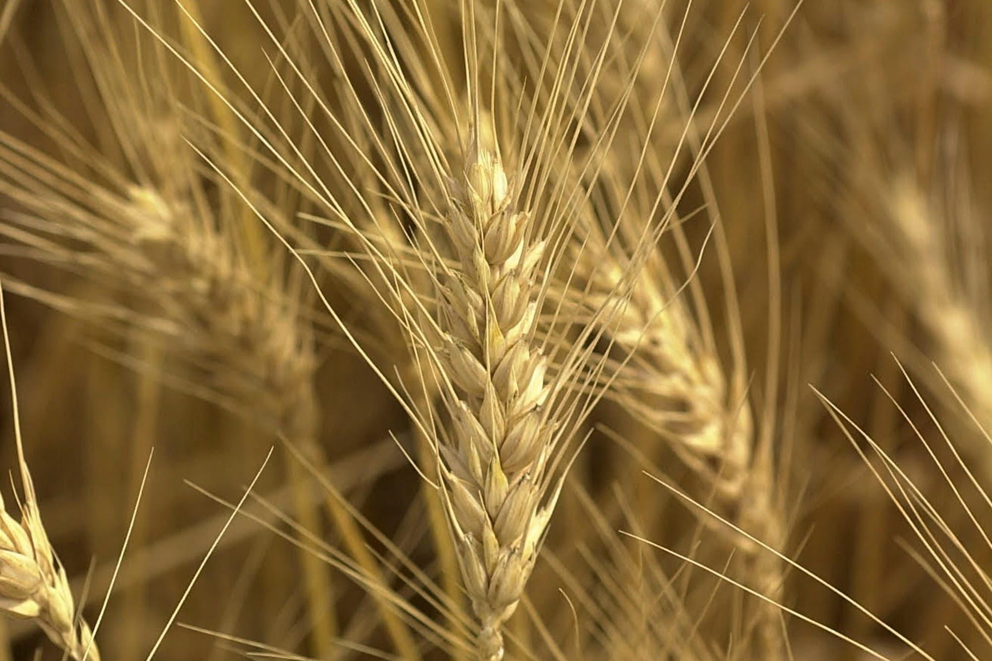 La caída del precio del trigo en Estados Unidos golpeó al mercado local