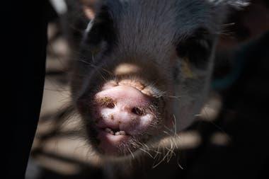 Chanchi es un cerdo de raza Juliana, que se caracteriza por no crecer mucho y tiene una vida promedio de 15 años