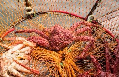 Crustáceos dentro de las redes cónicas que se usan durante la pesca artesanal.