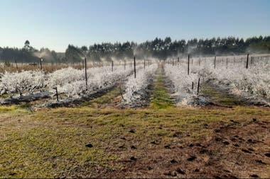 Durante los inviernos, los cuidados se intensifican porque las heladas pueden causar una pérdida total. En las noches frías se riega por aspersión a las plantas para mitigar el daño