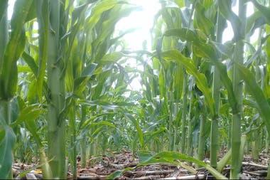 Según el Ministerio de Agricultura, el cepo al maíz fue aplicado en un momento del año en que la oferta del cereal suele comenzar a escasear