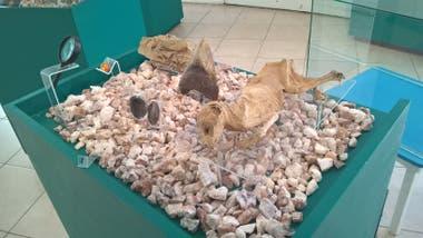 El gato exhibido en el museo de Ciencias Naturales y Antropológicas Cornelio Moyano en Mendoza