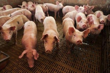 En el primer cuatrimestre de este año las exportaciones de carne porcina se incrementaron un 53% en volumen y un 48% en divisas respecto del mismo período de 2018