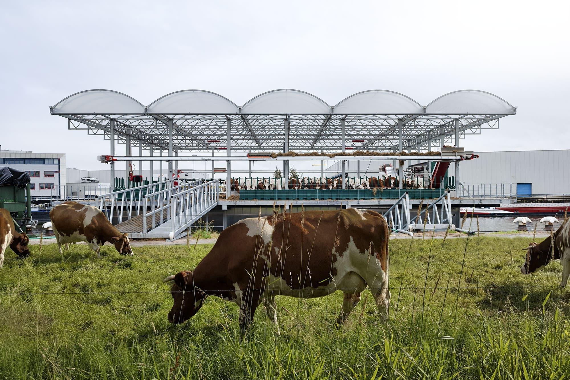 En Holanda prueban un tambo flotante autosustentable con 35 vacas