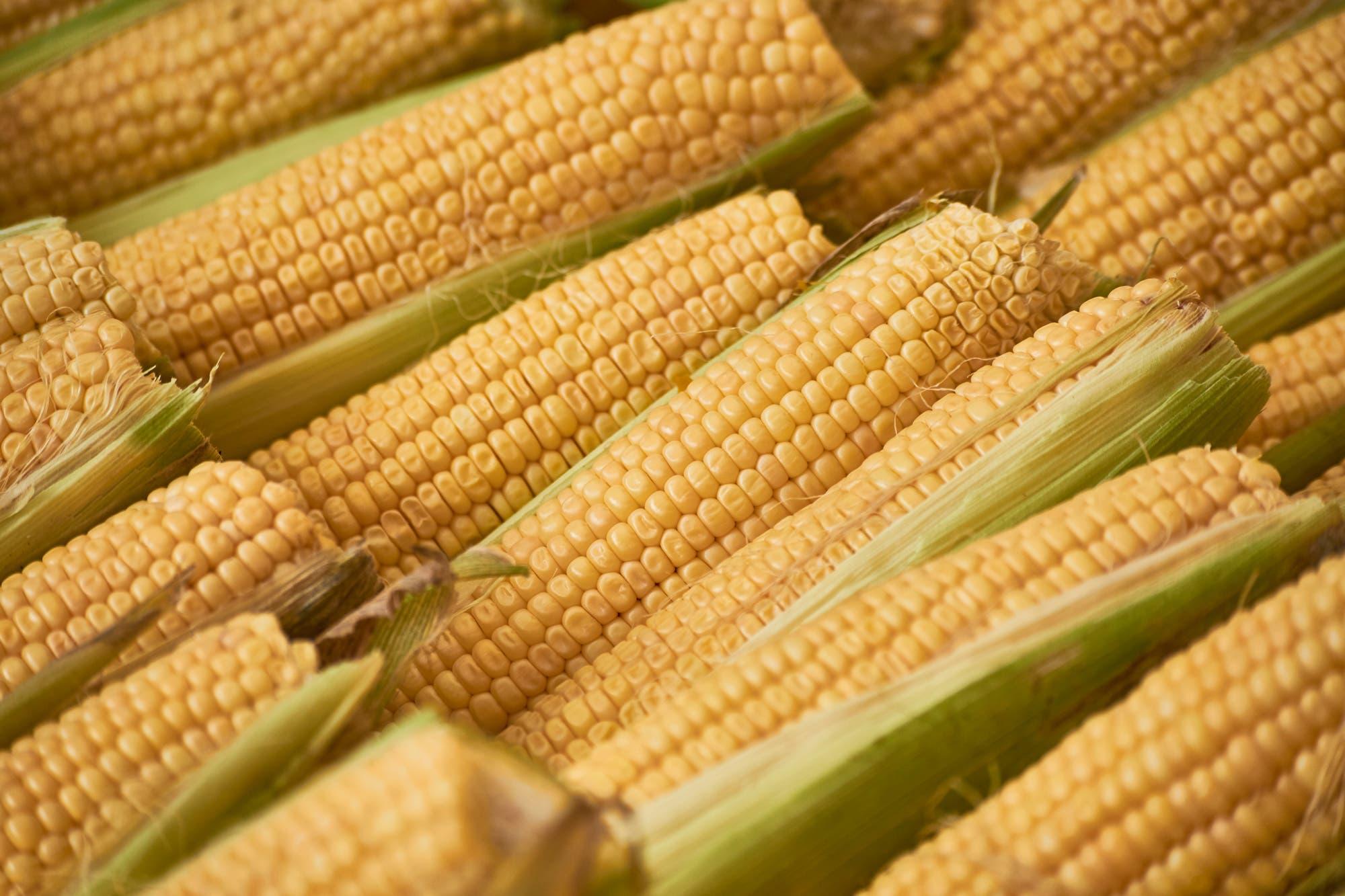 Para el Gobierno, las exportaciones de maíz alcanzaron un récord: 36,5 millones de toneladas