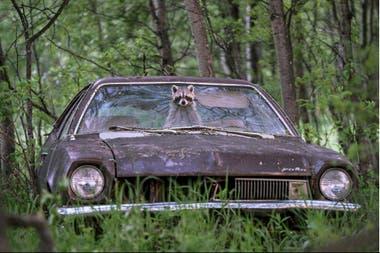 Un mapache en un Ford Pinto de los ´70, en Canadá