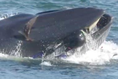 Una ballena se tragó a un buzo y luego lo escupió