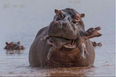 Un bebé de hipopótamo atacado por un macho adulto en Zimbawe
