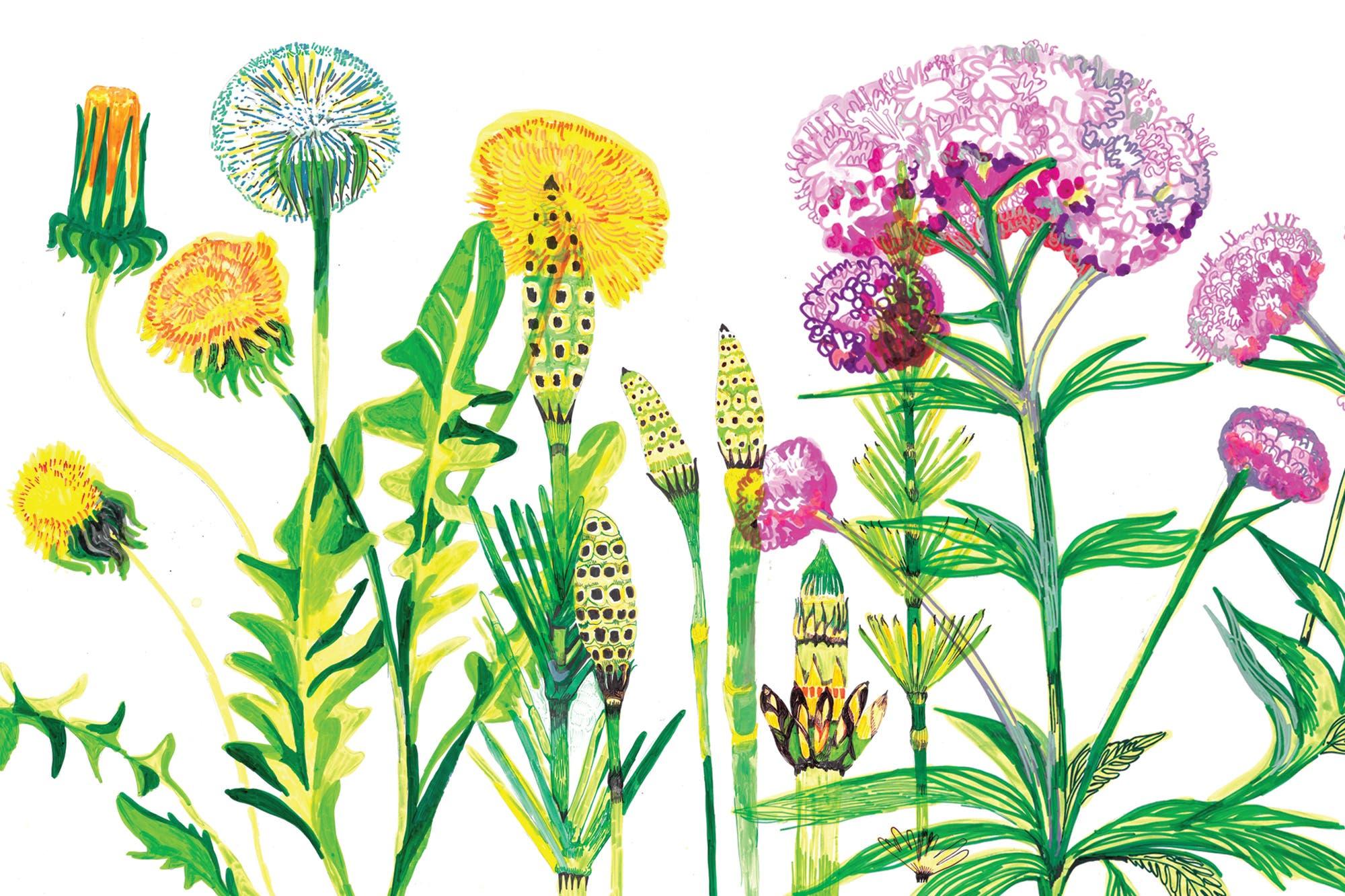 hierba prodigiosa para bajar de peso