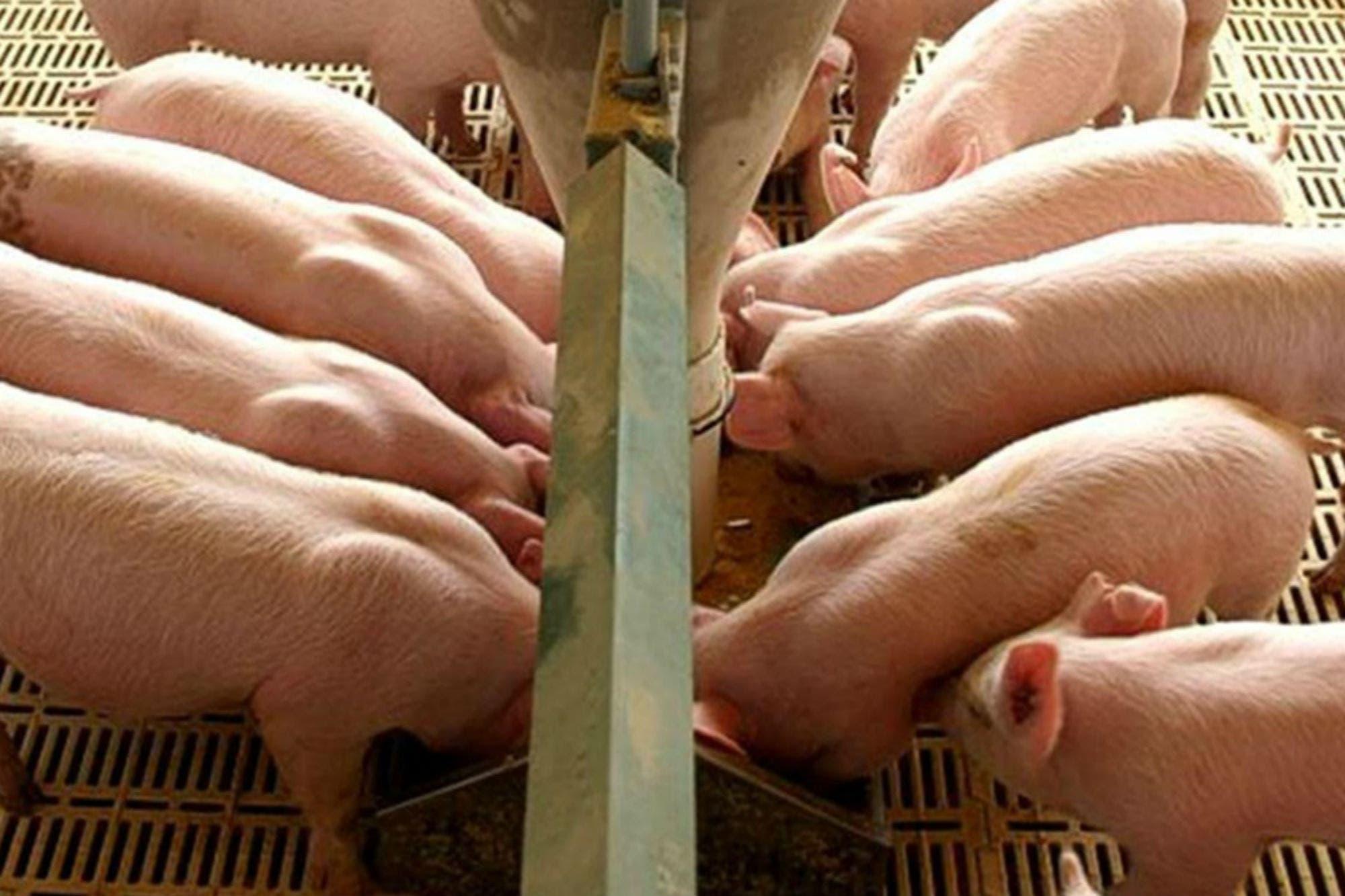 Etchevehere viaja a China y el Gobierno espera que ese país compre carne de cerdo
