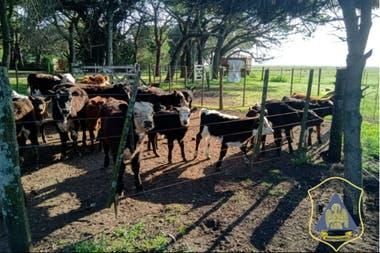 Parte del ganado de Ayacucho que fue secuestrado por la DDI de Balcarce
