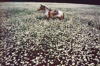 Lucky Spot in Daisy Field se titula esta foto, con el caballo Lucky Spot en un campo de margaritas, tomada en Sussex, en 1985