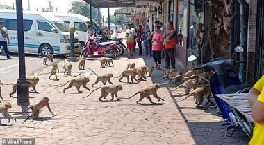 Los monos, hambrientos, amenazan a los y las lugareñas que ya no saben con qué alimentarlos.